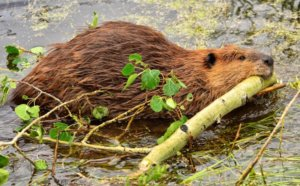 """Cable-chewing beavers take out town's Internet in """"uniquely Canadian"""" outage"""